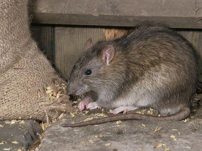 Brown rat eating grain