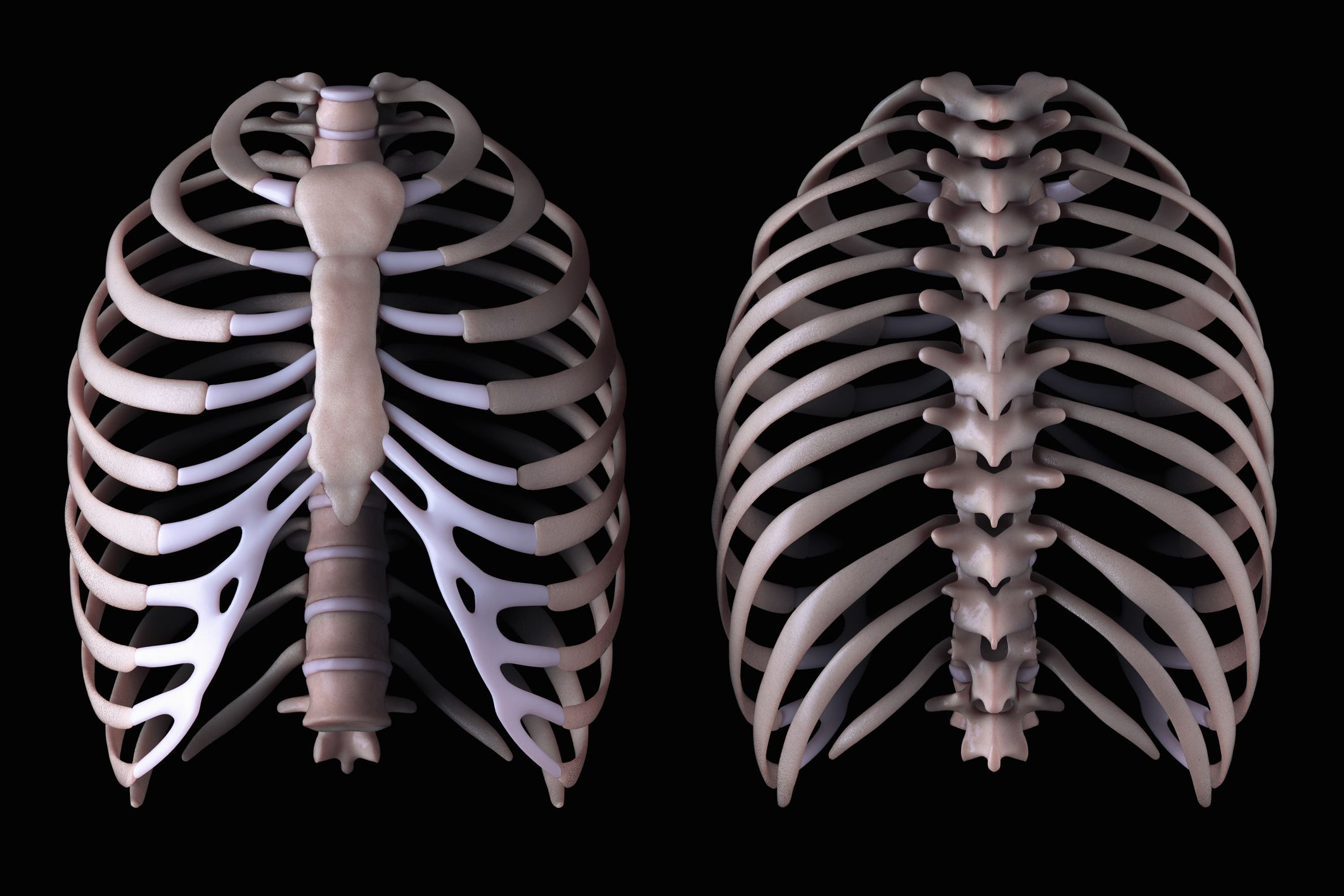 Floating Rib  Anatomy And Function