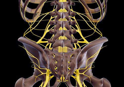 The nerves of the lower back, including the sciatic nerve.