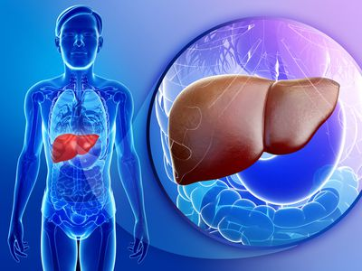 Anatomy of the liver