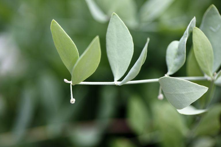 Close up of Jojoba (Simmondsia chinensis)