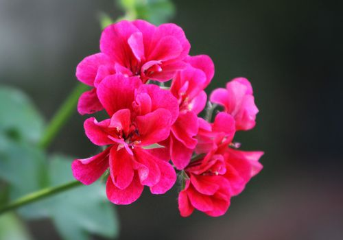 Close up of some bright pink geraniums growing in a garden.