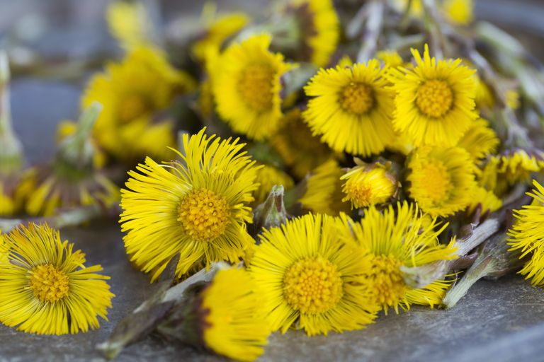 Closeup of coltsfoot (Tussilago farfara) flowers