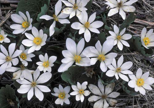 Bloodroot flowers in bloom