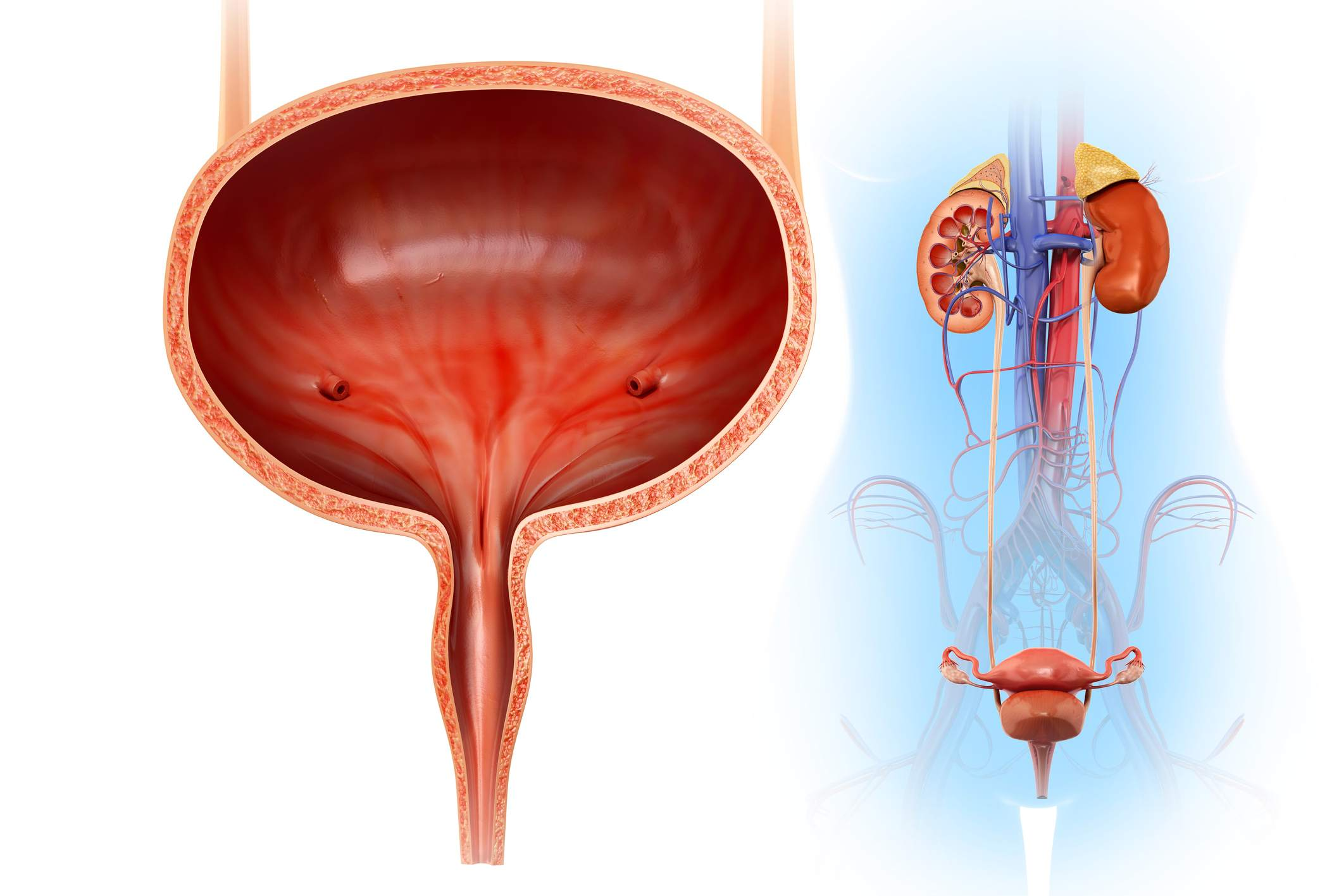 Female Urology And External Sexual Anatomy