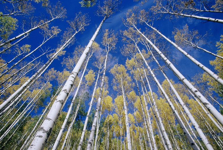 Low angle view of a white birch grove