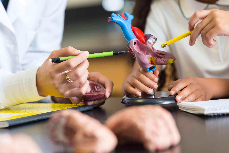 Teacher using heart model educational toy in elementary school classroom