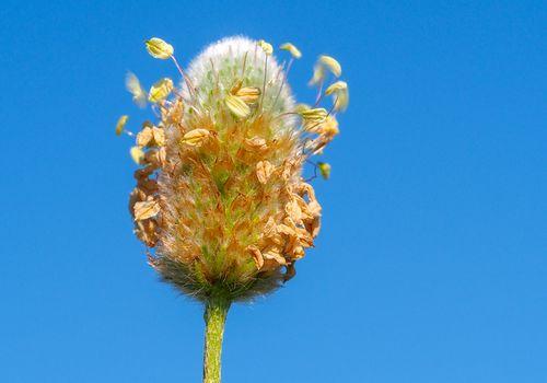Plantain plant