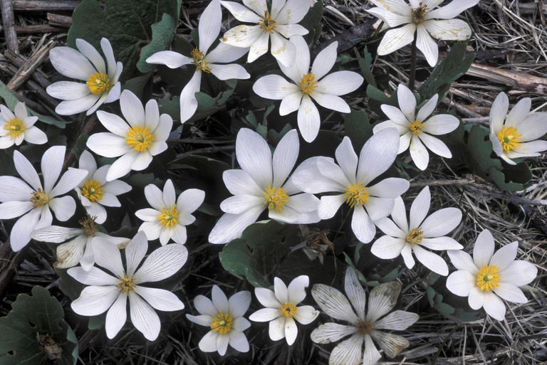 Bloodroot flowers in bloom