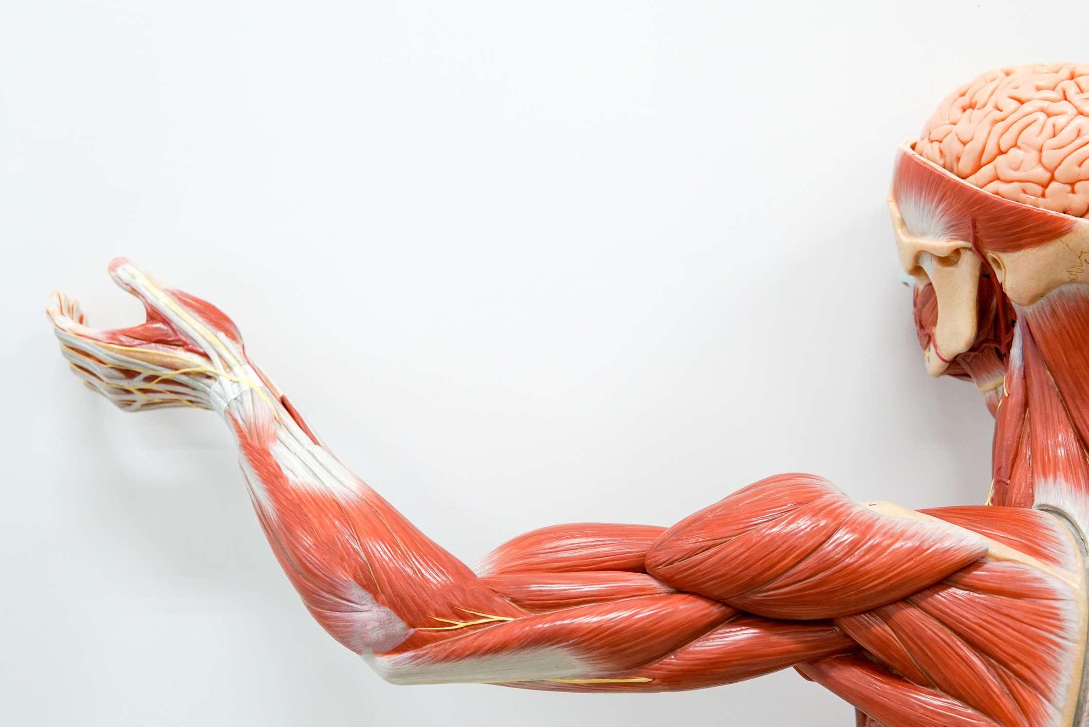 arm muscle anatomy