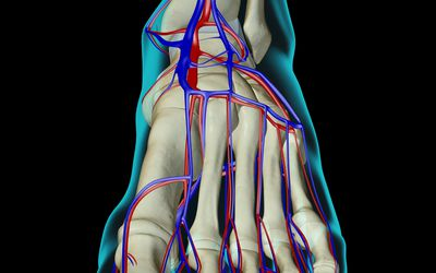 X-Ray image of the upper foot showing the dorsal pedis artery and bones.