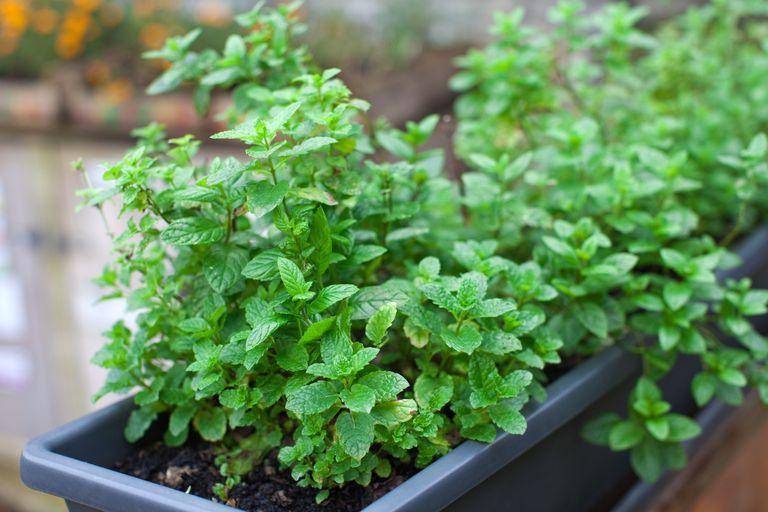 peppermint growing in pot