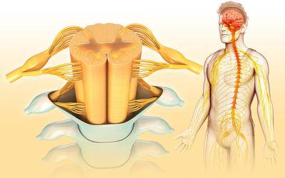 Human spinal cord, illustration