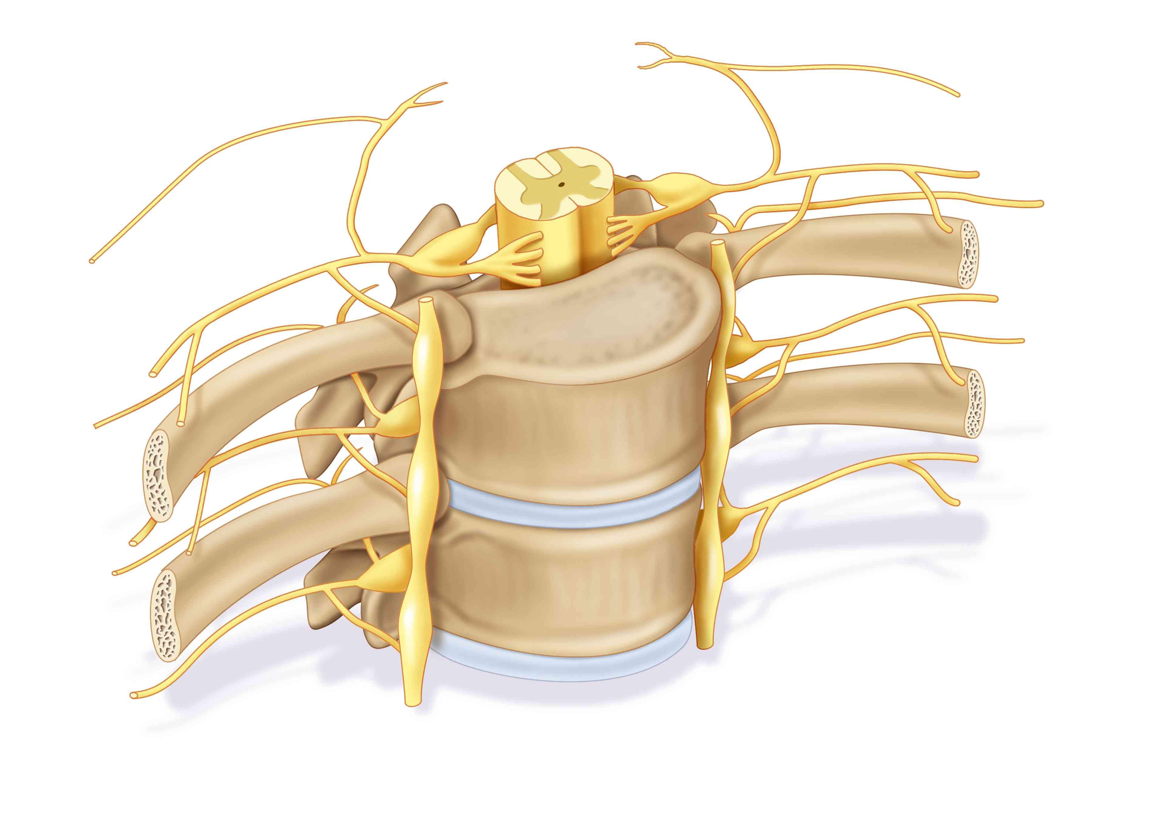 Spinal column, illustration