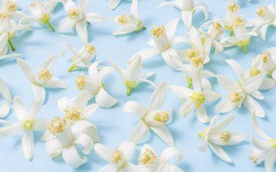Health benefits and uses of jasmine oil health benefits of neroli essential oil mightylinksfo