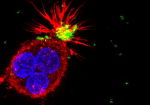 """Photo of the cell shows a cluster of three human cells of the immune system (macrophages). In red- the cytoskeleton of the cell, in blue- nuclei, in green- nanoparticles that are being """"caught"""" by the cell's """"arms."""""""