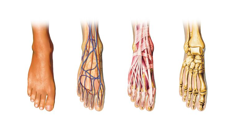 Foot Anatomy And Physiology