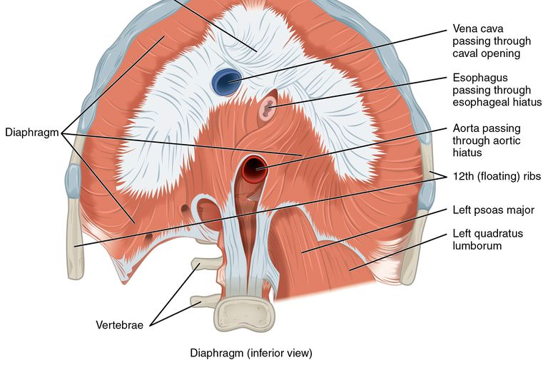 How Does COPD Affect the Diaphragm?