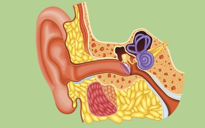 Cochlear Nerve's Role in Hearing: A Complex Phenomenon