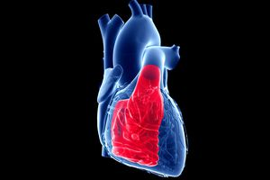 Illustration showing the heart and the right ventricle.