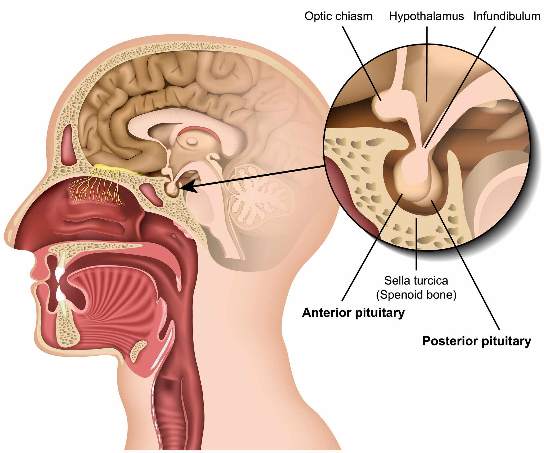 Pituitary gland anatomy 3d medical vector illustration isolated on white background hypothalamus in human brain eps 10 infographic - stock vector