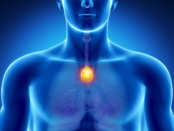 anatomy of the thymus gland