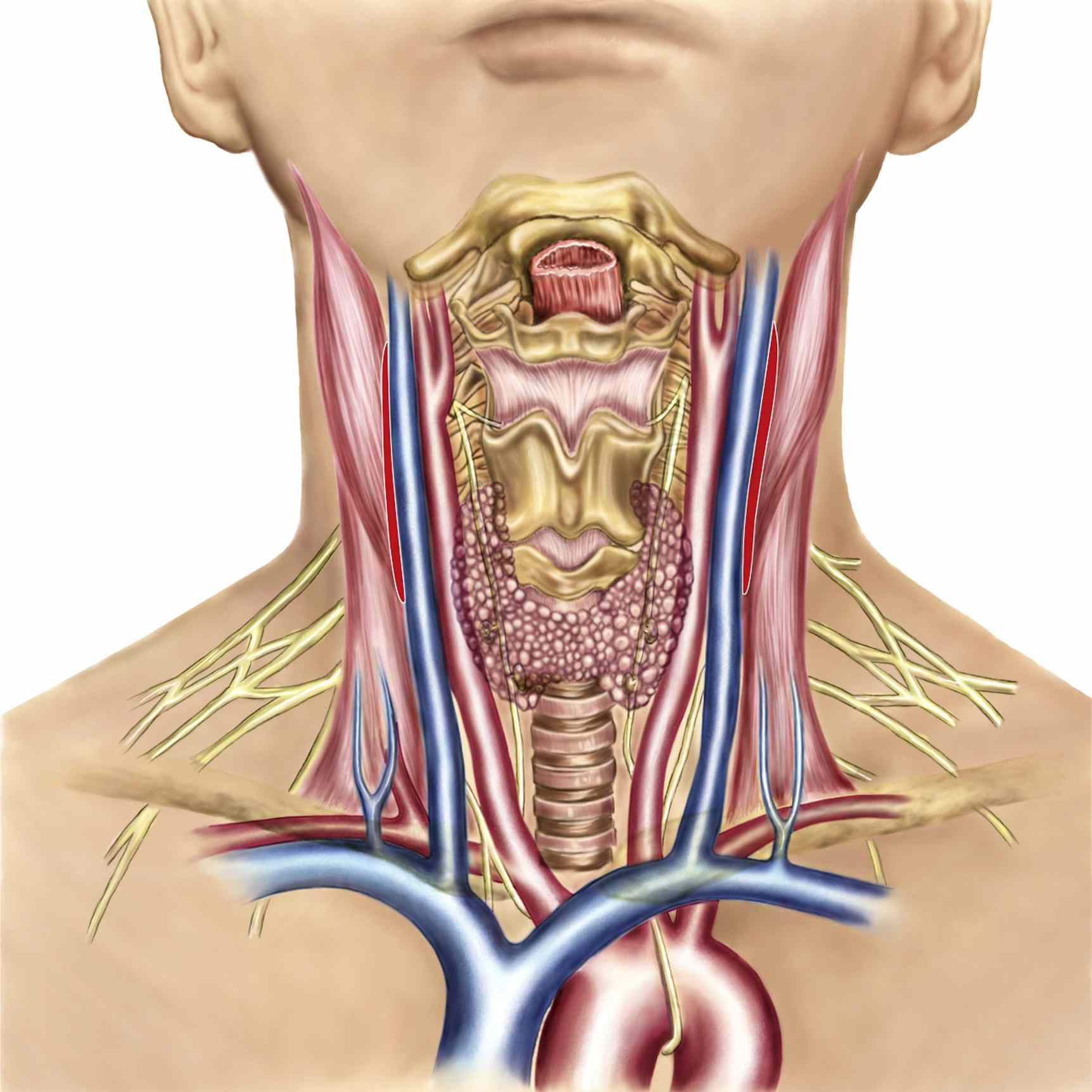 Neck anatomy showing arteries of pharyngeal region and thyroid, parathyroid glands