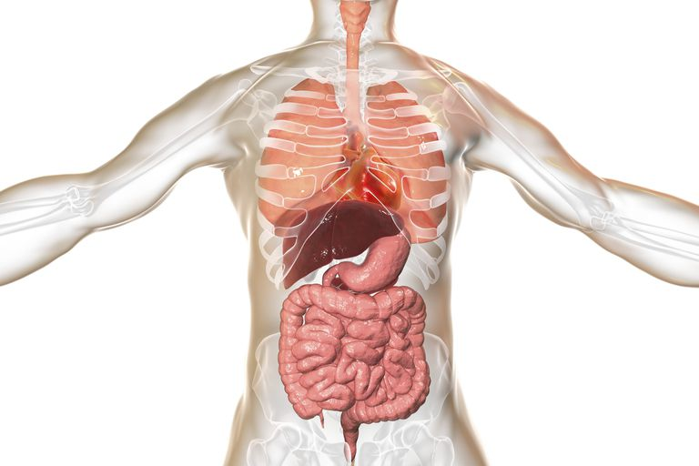 Illustration of a human digestive system