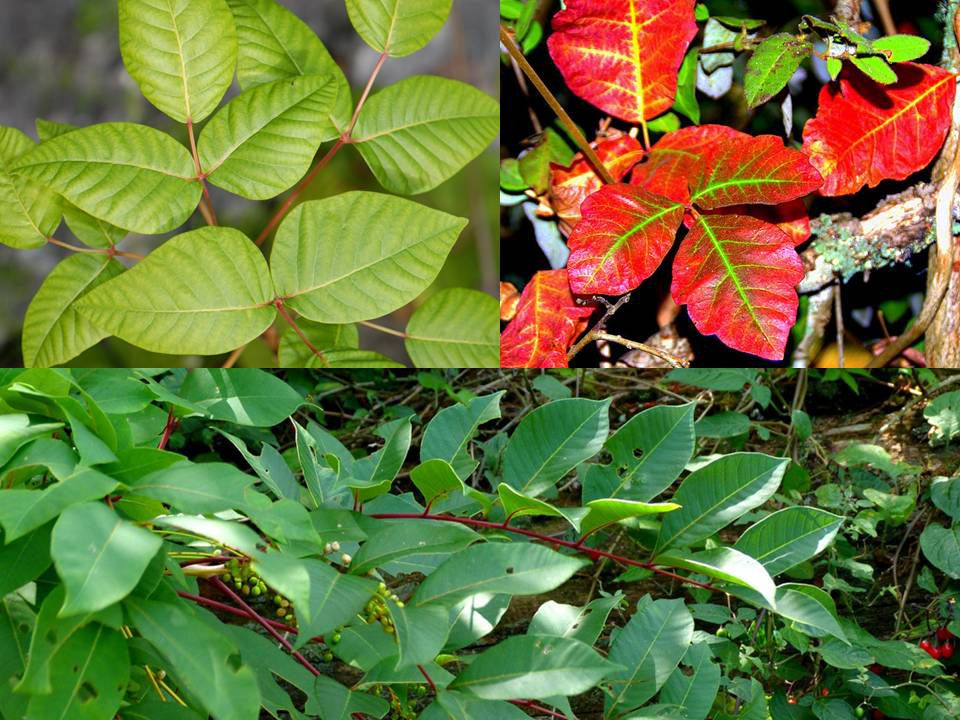 Clockwise from top left: poison ivy, poison oak and poison sumac.