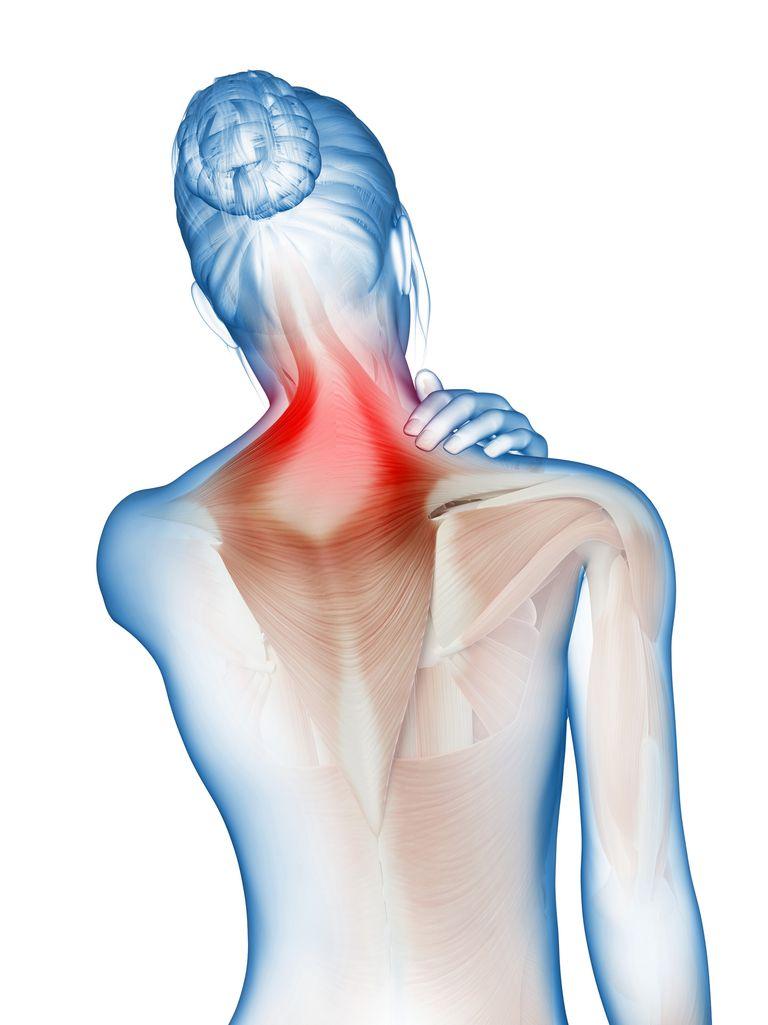 Splenius Capitis And Cervicalis Muscles