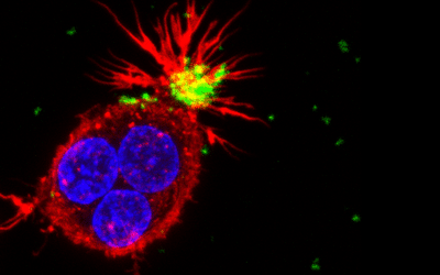 Photo of the cell shows a cluster of three human cells of the immune system (macrophages). In red- the cytoskeleton of the cell, in blue- nuclei, in green- nanoparticles that are being