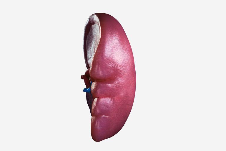 Human Spleen
