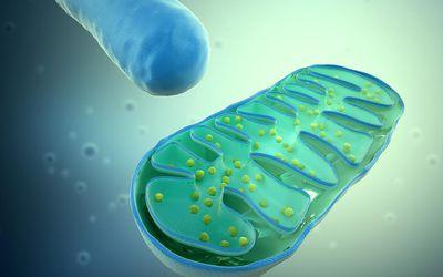 Mitochondria, computer artwork.