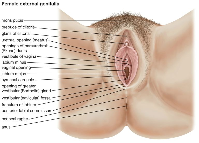 The human female external genitalia.