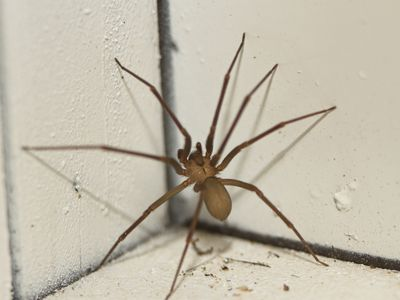 Brown Recluse Spider - stock photo