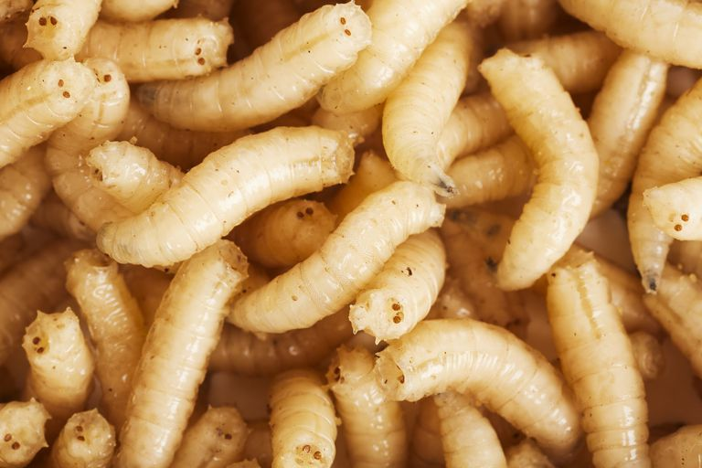 Close up of maggots