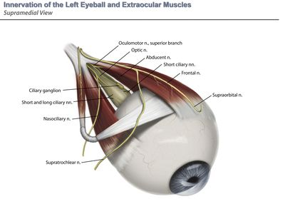 Innervation of the left eyeball and extraocular muscles