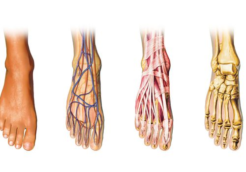 An illustration shows four versions of the human foot with different aspects of the anatomy revealed.