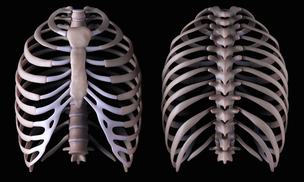 Rib cage anatomy