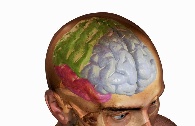 Illustration shows how the different lobes of the brain.
