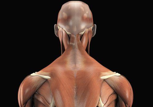 Trapezius muscle illustration