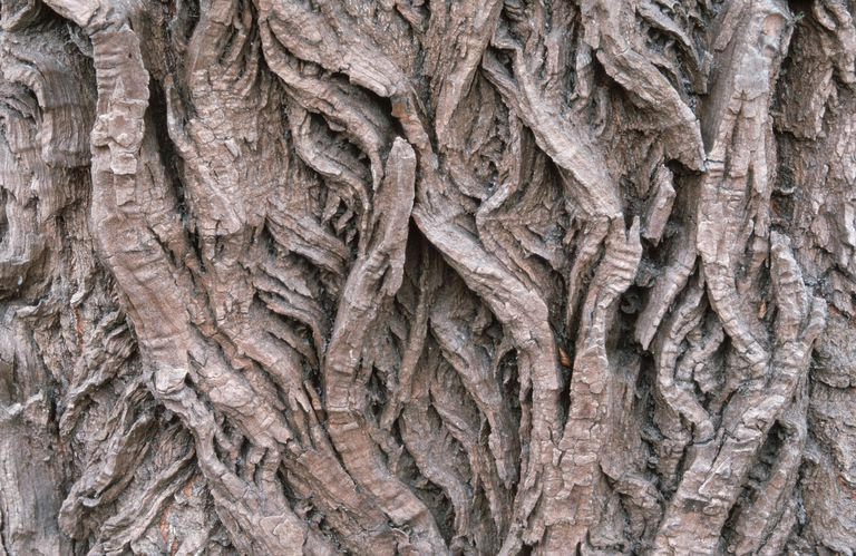 Bark detail of White Willow, Hungary / (Salix alba)