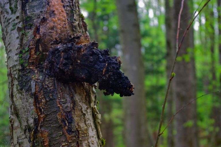 Wild Chaga Mushroom (Inonotus obliquus) growing on a Birch tree. - stock photo