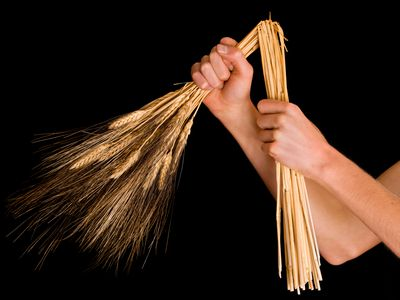 hands breaking wheat stalks in half