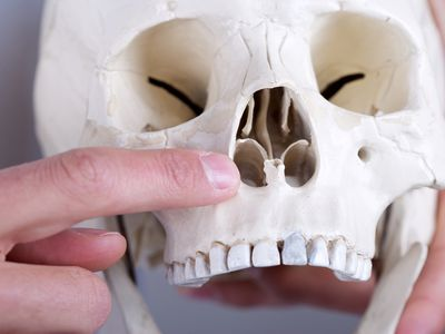 showing anterior nasal aperture - stock photo