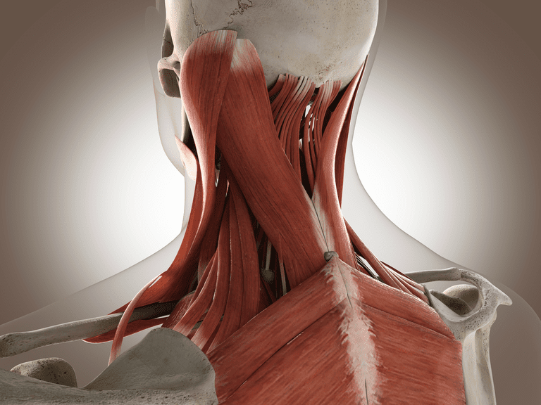 A simulated image of the upper back of a skeleton shows muscle origins, insertions and bellies.