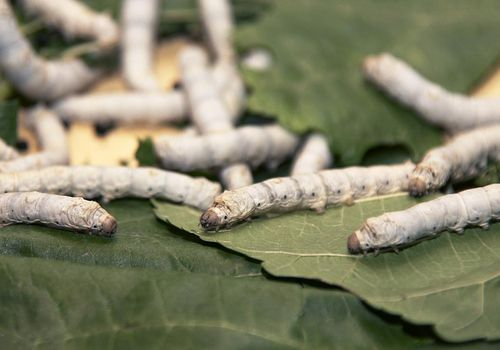 Silkworms on leaves