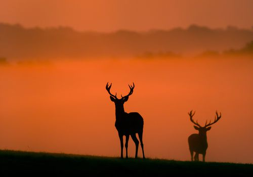 Silhouettes of two bucks at dusk
