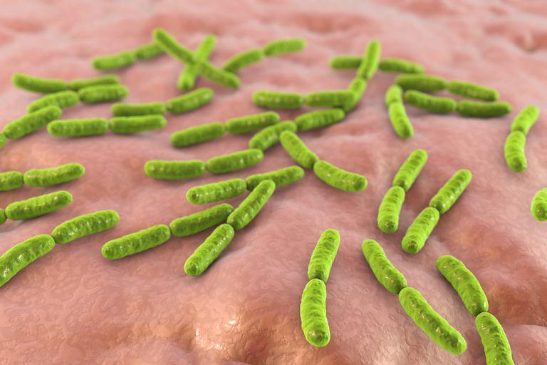 Lactobacillus crispatus bacteria, illustration