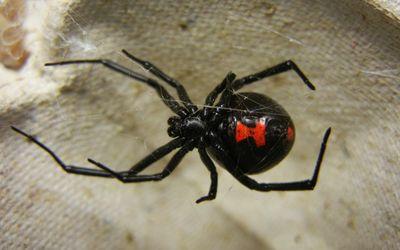 A black widow spider sitting on its web.